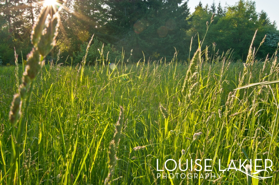 Sunshine, Long Grass, Fields, Sunlight, Golden Glow