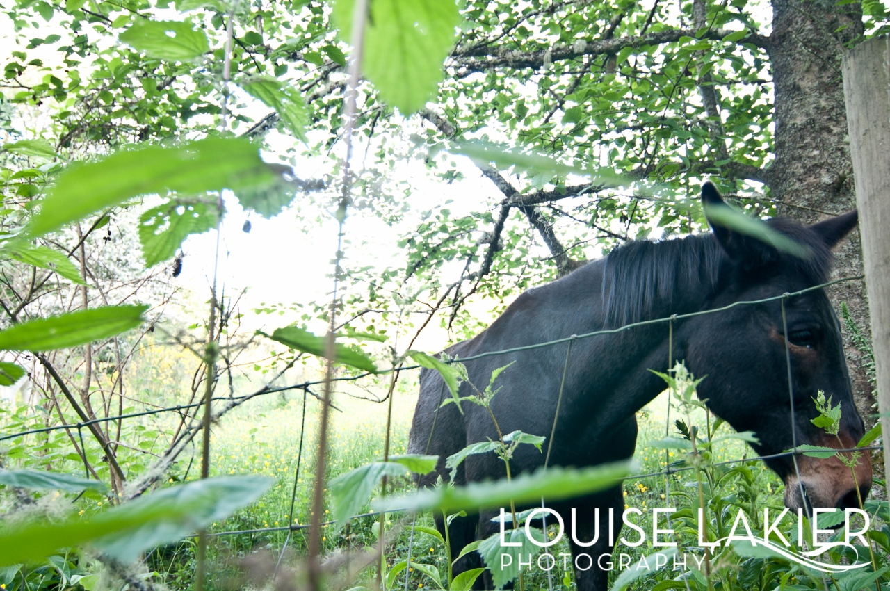 Horses, Mules, Farm Animals, Vashon Island, Animals, Pets, Black, Woods