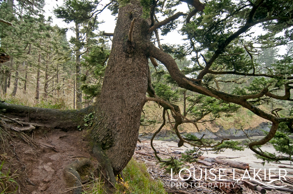 Cape Disappointment State Park, Portrait of a Tree, Long Beach Peninsula, Washington, Roots