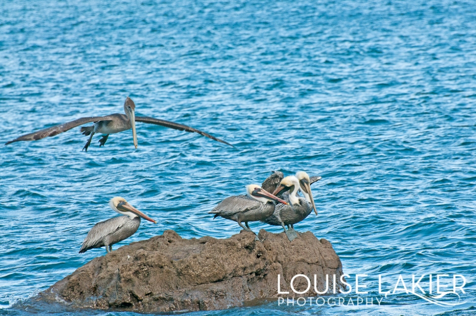Flight, Pelican, Nicaragua, Birds, Wildlife, Central America, Travel Photography, Nature, Sea Life