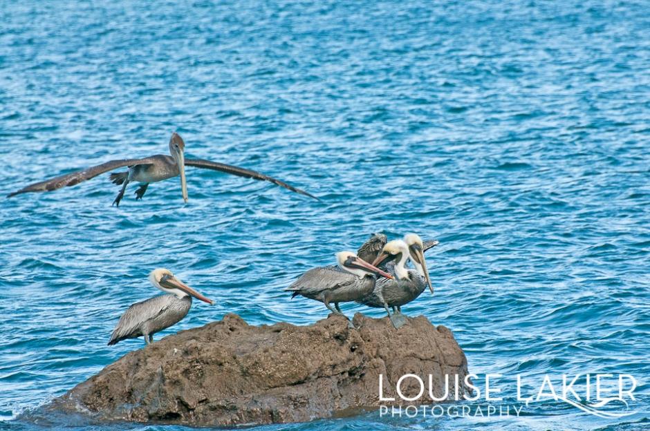 Flight, Pelican, Nicaragua, Birds, Wildlife, Central America, Travel Photography, Nature, Sea Life