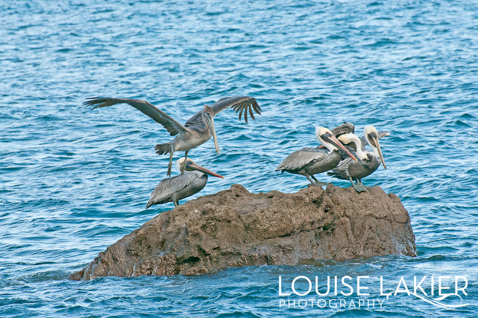 Birds, Nicaragua, Pelicans, Landing, Central America, El Gigante, Wildlife, Travel Photography, Nature