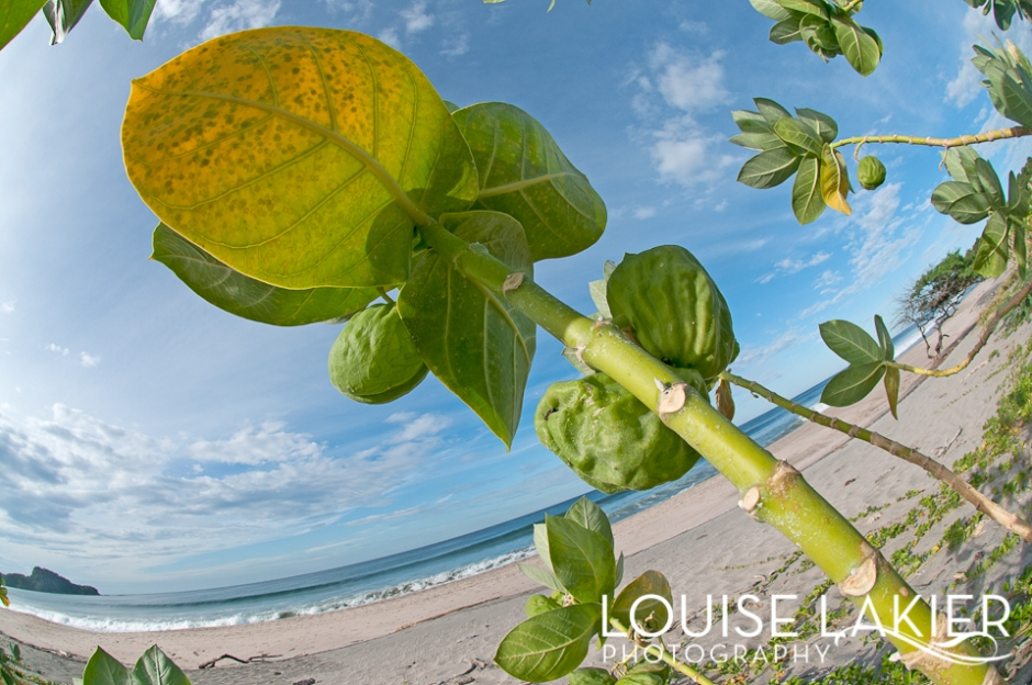 Papaya Tree, Papayas, Nicaragua, El GIgante, Central America, Travel Photography, On the Beach