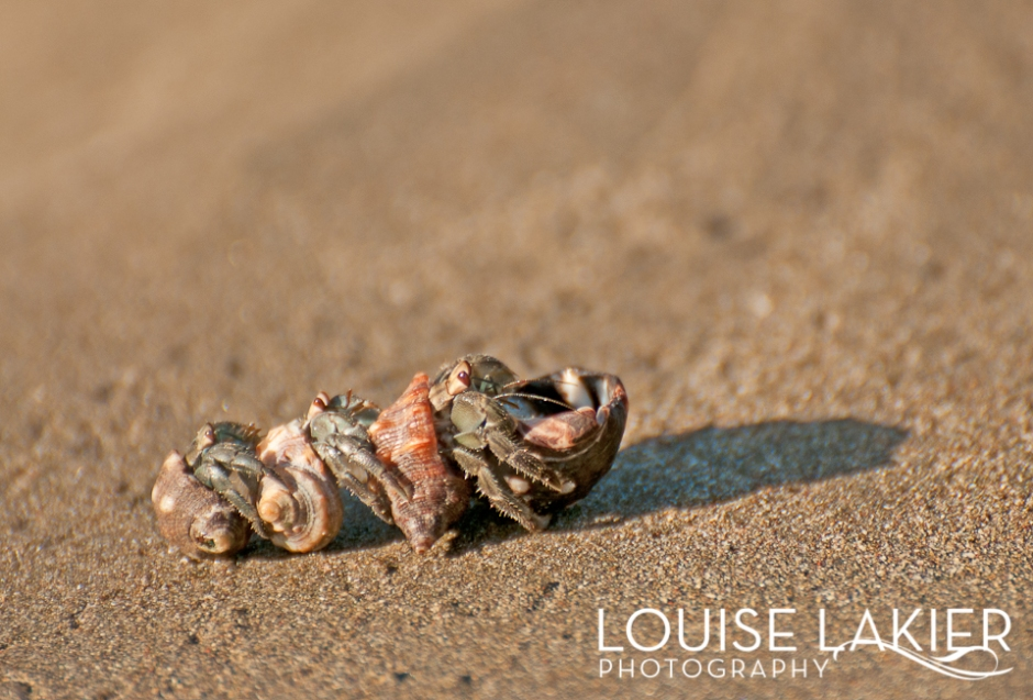 Hermit Crab, Beach, Shells, El Gigante, Wildlife, Nature, Travel Photography