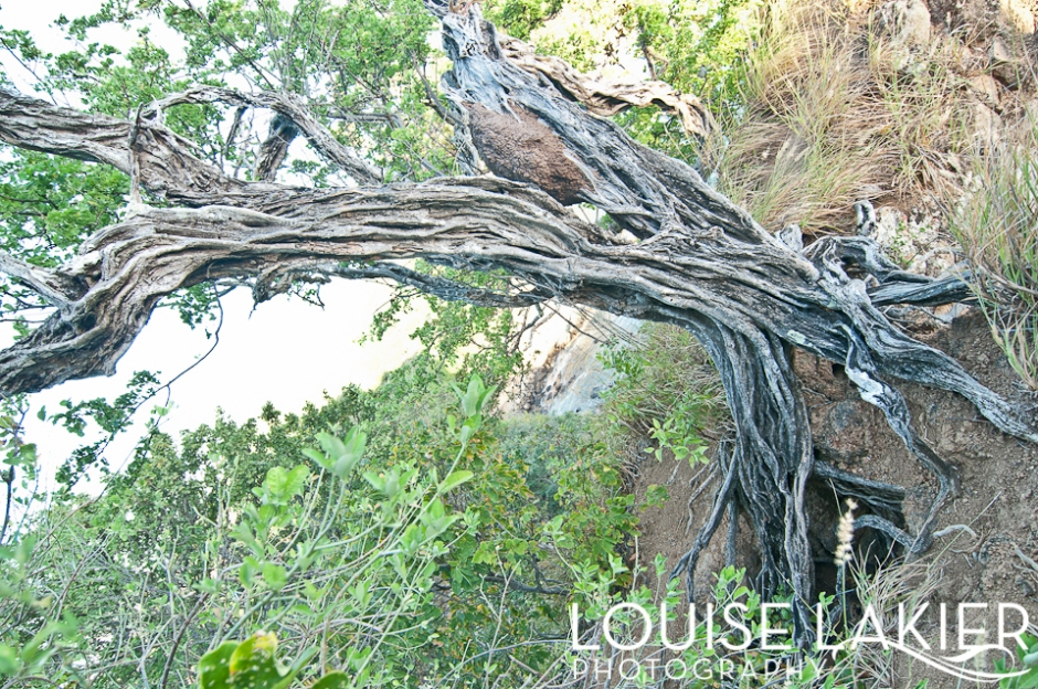 Sinuous, Wicked, Old, Twisted, Tendons, Portrait of a Tree, Cliffhanger, Rooted, Brasil