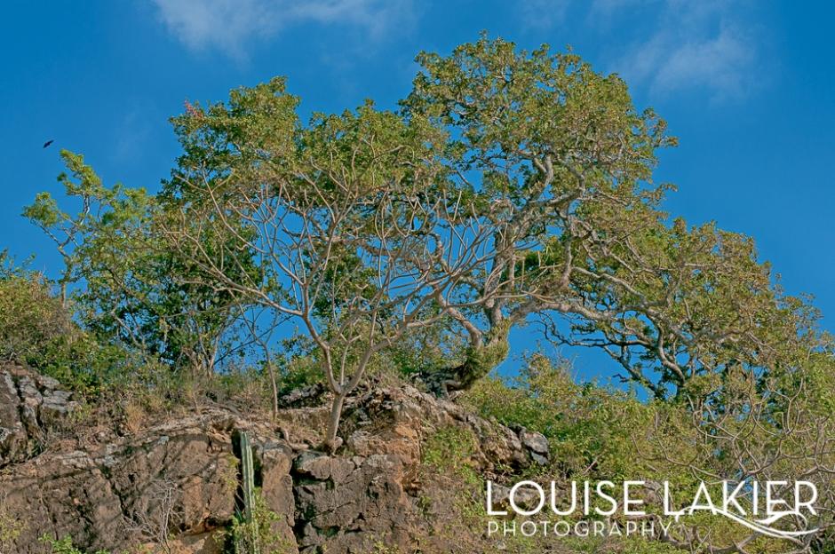 Sculptural Tree, Trees, Portrait of a Tree, Cliff Hugging Tree, Nicaragua, El Gigante