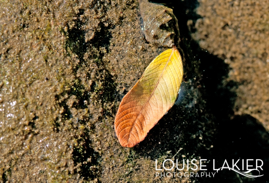 Fall, Leaf, Leaves, Tidal Pool, Nicaragua, Flora, Nature, Nature Photography, Travel Photography