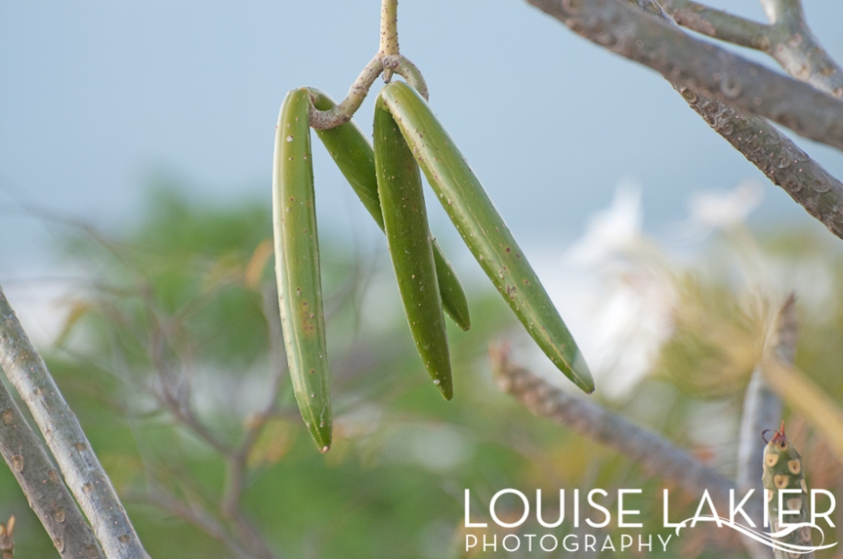 Poisonous Beans, Portrait of a Tree, Palodeleche Veneno, Nicaragua, Tree, Flora, Nature, Travel Photography, El Gigante, The Giant's Foot, Trails, Hikes