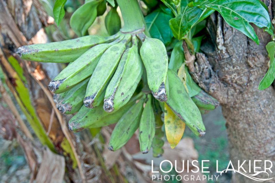 Platanos, Green Bananas, Nicaragua, Fruit, Local Foods, Central America, Flora, Nature, Travel Photography