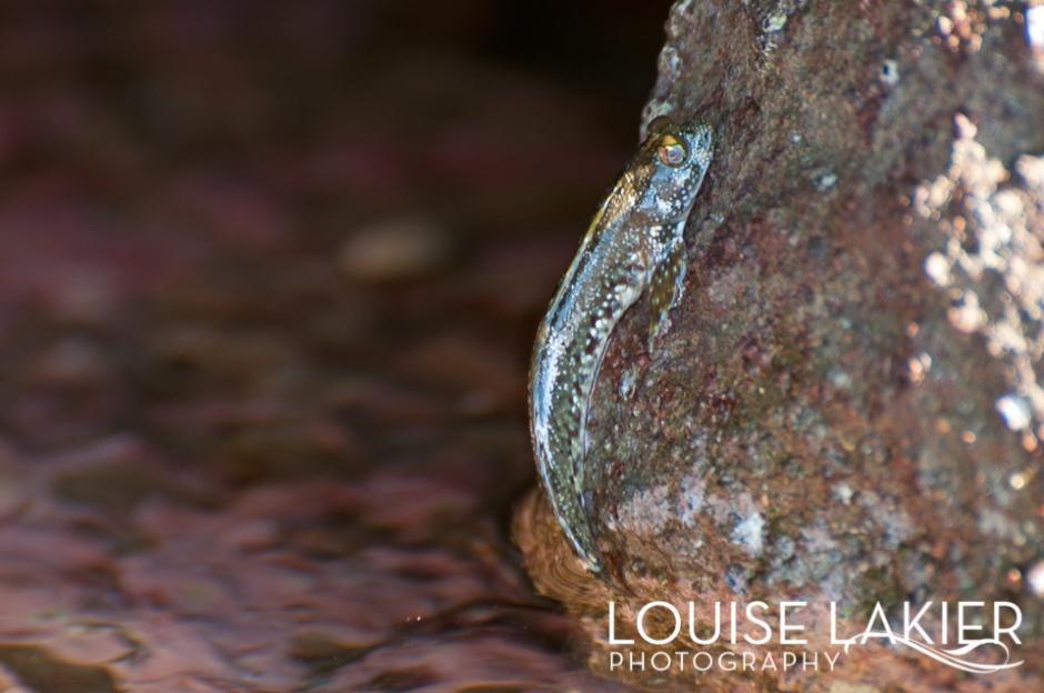 Fish Frog, Nicaragua, El Gigante, Redondo Bay, WIldlife Photography, Wildlife, Travel Photography, Tidal Pools, Evolution