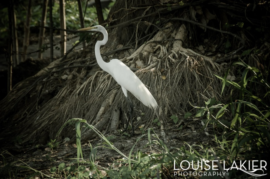 The Dark Stork Series, Stork, White, Contrast, The Isletas, Granada, Nicaragua, Travel Photography, Birds, Nature, Animals, Lake Nicaragua, Grace, Beauty