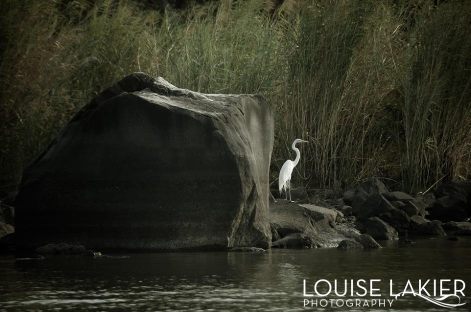The Dark Stork Series, Stork, Islas, Granda, Nicaragua, Lake Nicaragua, Nature, Birds, Travel Photography, White, Grace, Contrast
