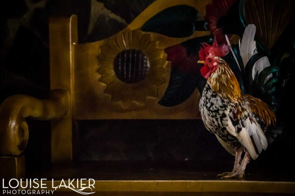 Chickens, Rooster, Crowing, Good-Morning, Light, Travel, Photography, Wildlife, The Farm, Granada, Nicaragua