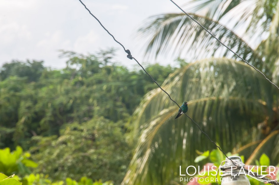 An emerald hummingbird sits on an electrical wire at Finca Magdelena on Ometepe Island