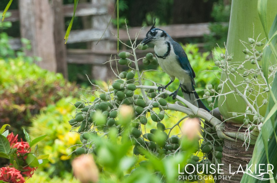 A blue jay eats at Finca Magdelena on Ometepe Island