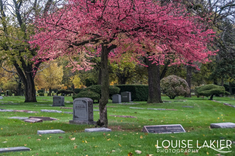 a tree above gravestones glows fuschia on a grey chicago day