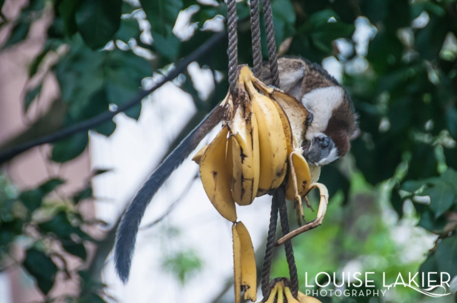 A tamarin hangs on a banana bunch to eat