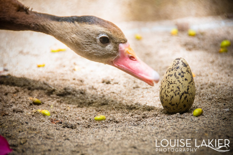 Duck and Egg